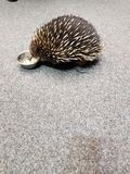 Porcupine or Ecidna Outback Australian animal royalty free stock images