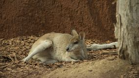 Australian Marsupial. At rest in a natural setting royalty free stock photo
