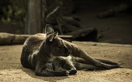 Australian Marsupial. At rest in a natural setting stock image