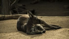 Australian Marsupial. At rest in a natural setting stock photos