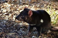 Australian marsupial Tasmanian Devil Stock Photography
