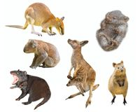 Australian marsupials isolated. Collage of Australian marsupial mammals, isolated on white background. Wallaby, Tasmanian Devil, Wombat, Kangaroo with Joey Stock Image