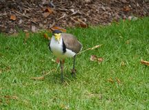 The Australian masked lapwing Royalty Free Stock Photos