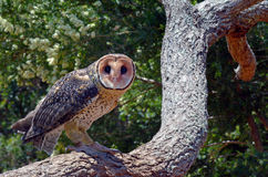 Australian Masked Owl Stock Photo