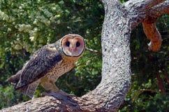 Australian masked owl Stock Photo