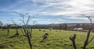 Australian Merino Sheep grazing in rural Royalty Free Stock Photography