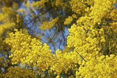 Australian Mimosa Or Wattle Tree In Bloom Royalty Free Stock Photos