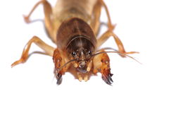 Australian Mole Cricket Royalty Free Stock Photography