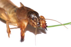 Australian Mole Cricket Stock Photos