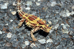 Australian moloch horridus lizard. On grey road stock photography