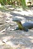 Australian Monitor Lizard Royalty Free Stock Images