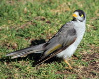 Australian Myna bird. An Australian Myna bird hunting for breakfast Stock Images
