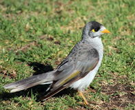 Australian Myna bird. An Australian Myna bird hunting for breakfast Stock Photography