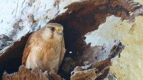 The Australian Nankeen Kestrel Royalty Free Stock Images