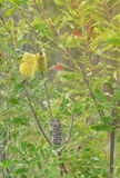 Australian native Banksia in Flower Royalty Free Stock Photos