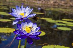 Australian native blue water lily. stock photos