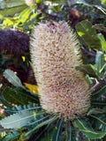 Australian Native Bottle Brush Shrub. Detail of a native Australian bottle brush,  Callistemon Royalty Free Stock Photos