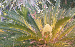 Australian Native Cycad Plant Royalty Free Stock Images