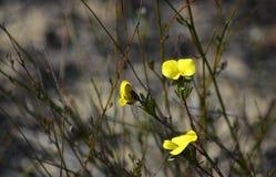 Australian native Dainty Wedge pea, family Fabaceae. Yellow flowers of the Australian native Dainty Wedge Pea, Gompholobium glabratum, growing in heath along the royalty free stock photos