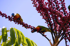 Australian Native fauna, Rosella Rainbow Lorikeet Parrot birds. In Umbrella Plant Tree eating red berries fruit in Autumn, taken in Adelaide, South Australia royalty free stock image