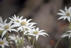 Australian native flannel flowers, Actinotus helianthi. Royal National Park, Sydney, New South Wales, Australia. Spring and summer flowering royalty free stock photos