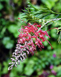 Australian native flora Grevillea Banksii red flower Royalty Free Stock Photos