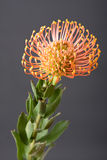 Australian Native Flower Royalty Free Stock Photography