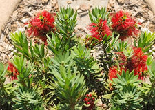 Australian native flower red callistemon Royalty Free Stock Image