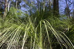 Australian Native Grass Royalty Free Stock Images
