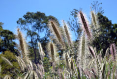 Australian native grass, Swamp Foxtail Royalty Free Stock Photography