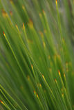 Australian Native Grass Tree Royalty Free Stock Photography