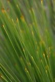 Australian Native Grass Tree Royalty Free Stock Photography