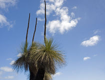 Australian Native Grass Tree Royalty Free Stock Photo