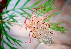 Australian native grevillea. Grevillea G.banksii species. Early stage of flower display Stock Image