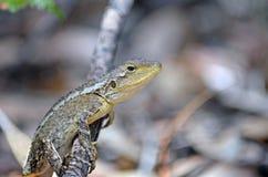 Australian native Jacky Dragon. Lizard, Amphibolurus muricatus, family Agamidae, on a branch in woodland in the Royal National Park, Sydney, Australia. Endemic royalty free stock images