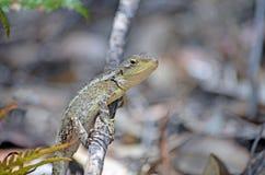 Australian native Jacky Dragon. Lizard, Amphibolurus muricatus, family Agamidae, on a branch in woodland in the Royal National Park, Sydney, Australia. Endemic royalty free stock image