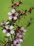 Australian native Leptospernum Pink Cascade stock images
