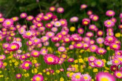 Australian native paper daisy flower field. Australian native paper daisy flower with dark foliage on the background. Nature background. Selective focus, shallow stock images