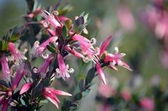 Australian native Pink Five-Corners Flowers, Styphelia triflora, royalty free stock photo