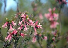 Australian native Pink Five-Corners Flowers, Styphelia triflora, royalty free stock image