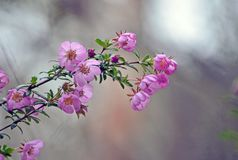 Australian native River Rose, Bauera rubioides royalty free stock images