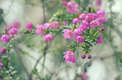 Australian native River Rose, Bauera rubioides stock photography