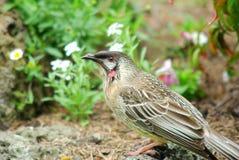 Australian native Wattle bird Royalty Free Stock Photo
