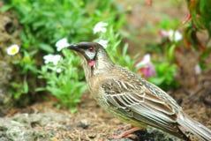 Australian native Wattle bird Stock Image