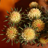 Australian Native Wildflower - Banksia Stock Images