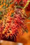 Australian native wildflower - Grevillia Stock Photo