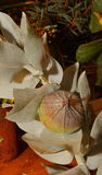Australian native wildflower - Grevillia nut Stock Photos
