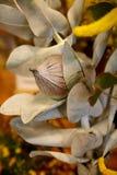 Australian native wildflower - Grevillia nut Royalty Free Stock Image