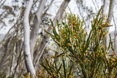 Australian native wildflowers and snowgums, Mount Hotham, Victor Royalty Free Stock Photo