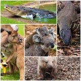 Australian native wildlife. Photo collage of Australian native wildlife royalty free stock images